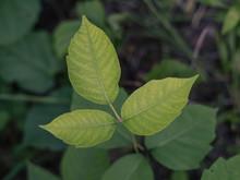 Poison Ivy Leaflets