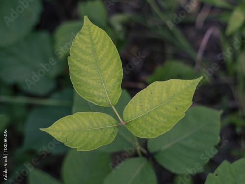 Fotografie, Obraz  Poison Ivy Leaflets