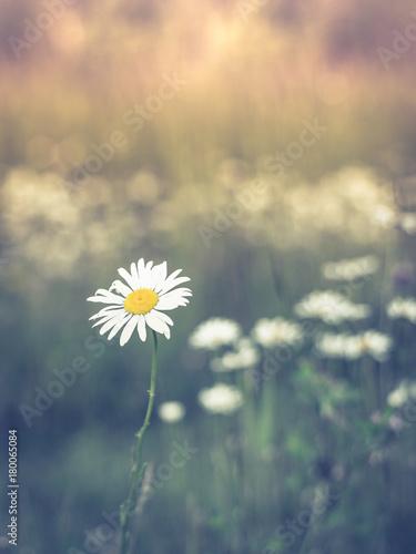 Foto op Canvas Madeliefjes Oxeye Daisy in Summer Sun