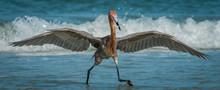 Reddish Egret Actively Hunting...