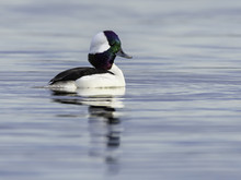 Male Bufflehead Swimming