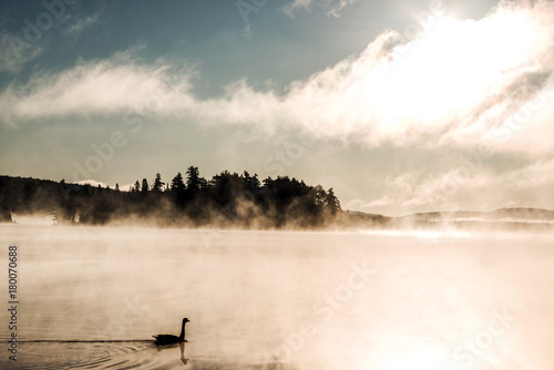 Fototapeta Duck swimming ake of two rivers in algonquin national park ontario canada sunset sunrise with much fog foggy background obraz na płótnie