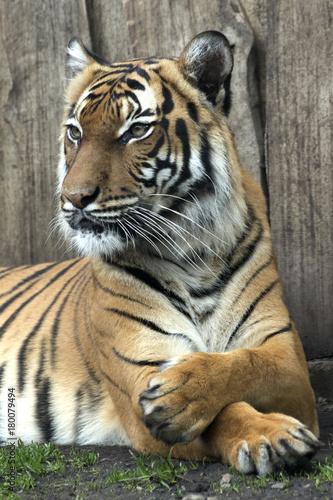 Fotografie, Obraz  lying Bengal tiger kept in the zoo