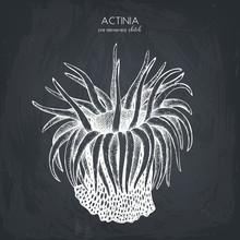 Hand Drawn Actinia - Sea Flower. Vector Underwater Natural Elements. Vintage Sea Life Illustration. Anemone Sketch On Chalkboard