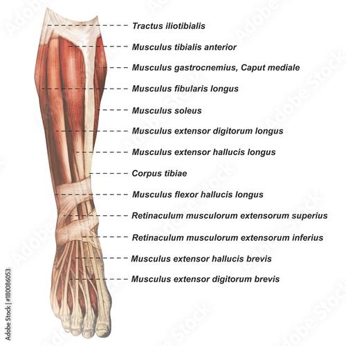 Oberschenkel Muskulatur frontal medial lateral anterior Latein crus ...