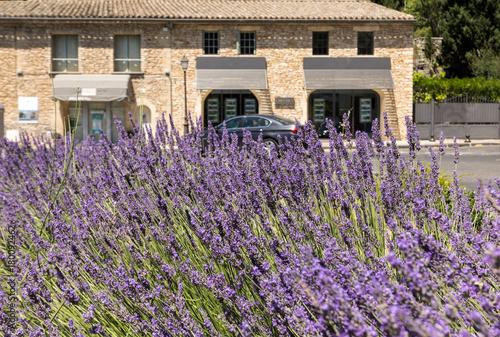 In de dag Lavendel The flourishing lavender in Gordes. Provence, France