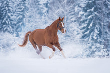 Beautiful Stallion Running Gal...