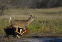 White-tailed Deer Buck Running...
