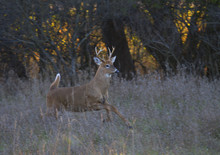 White-tailed Deer Buck Running Through The Meadow After A Doe During The Rut In Ottawa, Canada
