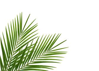 Tropski palmin list na bijeloj pozadini