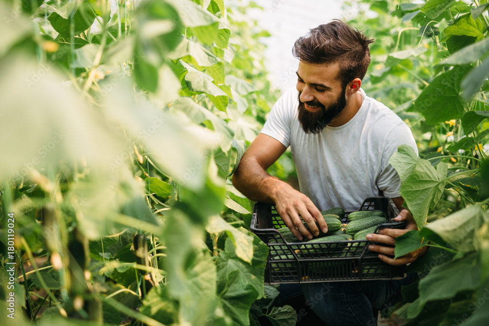 Fototapeta Male farmer picking fresh cucumbers from his hothouse garden