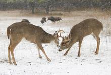 Two White-tailed Deer Bucks Fi...