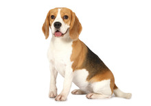 Beagle Dog Isolated On White B...