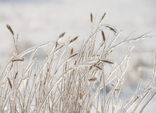 Dry Grass Covered With Ice
