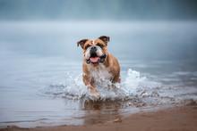 English Bulldog In Water