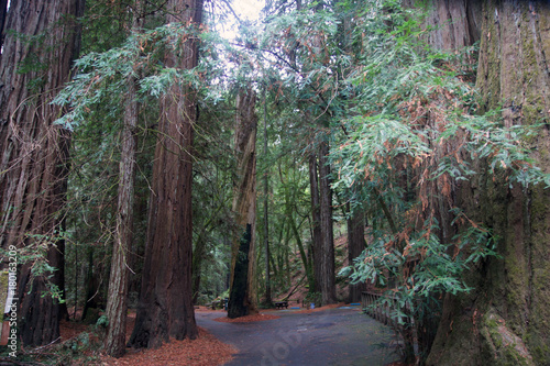 Armstrong Redwoods State Natural Reserve, California,  United States - to preserve 805 acres (326 ha) of coast redwoods (Sequoia sempervirens) Canvas Print