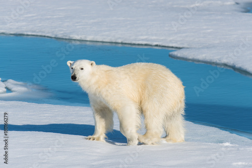 Tuinposter Ijsbeer Polar bear on the pack ice