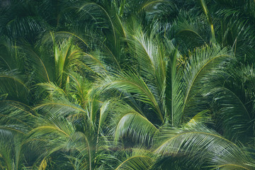 FototapetaLeaves of palm coconut trees in the rainforest jungle of Costa Rica