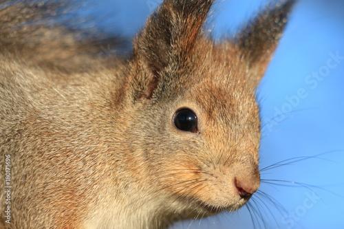 Zdjęcie XXL słodkie wiewiórki w parku