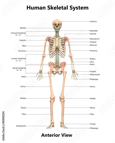 Human Skeletal System Anatomy with Detailed Labels Anterior View ...