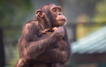 Chimpanzee With A Lovely Thoug...