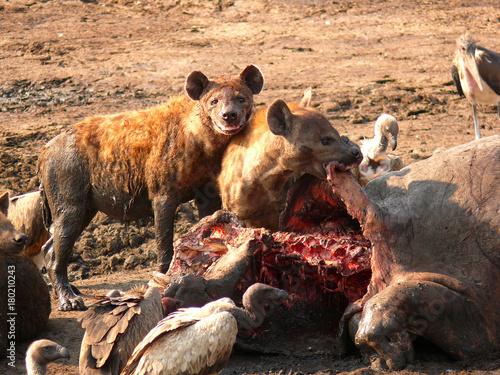 Foto auf Leinwand Hyane hyena