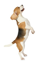 Beagle Dog Standing On Hind Legs