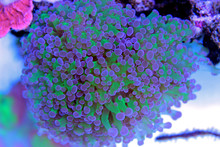 Euphyllia Frogspawn Lps Coral In Reef Tank