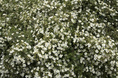 Fotografering  Potentilla fruticosa 'Abbotswood' or shrubby cinquefoil