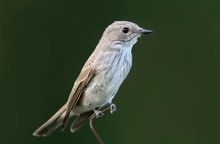 The Spotted Flycatcher (Muscicapa Striata) Sits On The Fence Close Up Isolated On Blurred Green Background