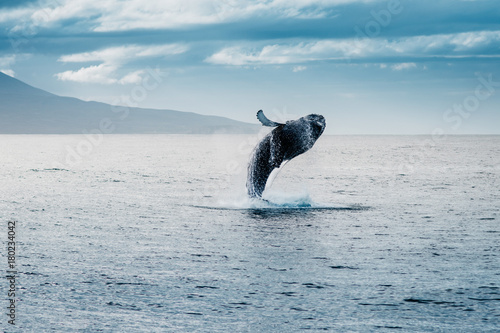 whale watching jump Canvas-taulu