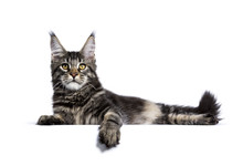 Black Tabby Maine Coon Cat Kitten Laying  Isolated On White Background