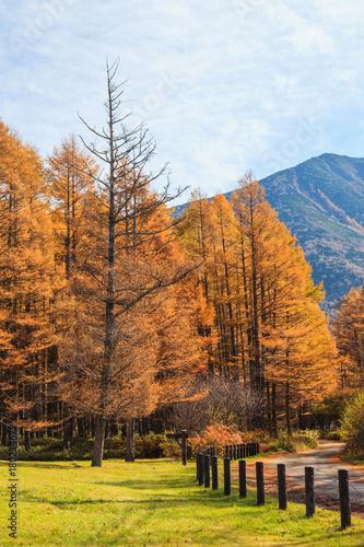 golden pine tree forest in autumn season nikko japan buy this
