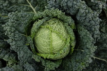 Cultivation Of Savoy Cabbage