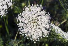 White Flower Ammi Majus, Top V...