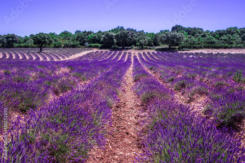 Fotobehang Snoeien Lavender fields in France