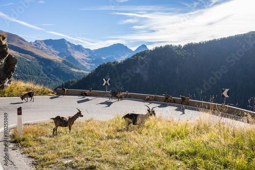 Fotografie, Obraz  Timmelsjoch High Alpine Road landscape and goats