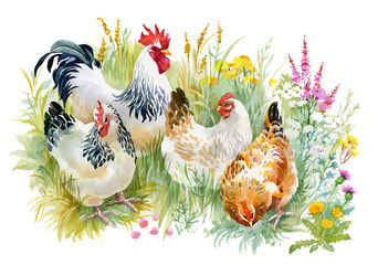 FototapetaChicken and rooster in the grass on white background.