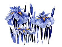 Hand Drawn Blue Iris Flowers O...