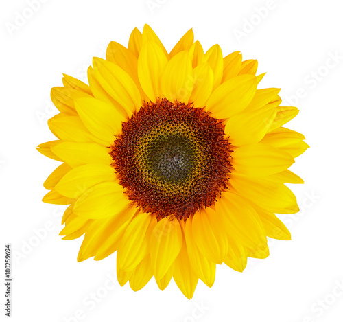 In de dag Zonnebloem sunflower (Helianthus annuus) isolated on white background, clipping path included