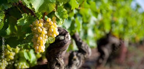 Cuadros en Lienzo Panorama dans les vigne en Anjou