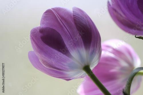 back lit dark purple tulips through a glass window buy this stock
