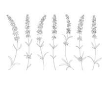 Vector Sketch Lavender Illustration. Beautiful Lavender Flowers.  Doodle, Line Art