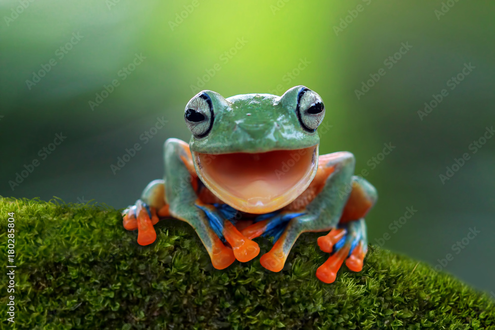 Fototapeta Tree frog, flying frog laughing