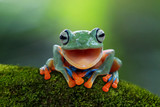 Fototapeta Animals - Tree frog, flying frog laughing