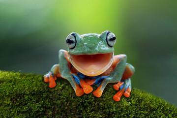 Tree frog, flying frog laug...