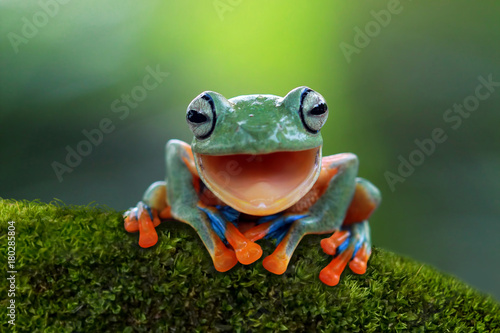 Ingelijste posters Kikker Tree frog, flying frog laughing
