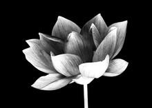 Flower Head On Black Background