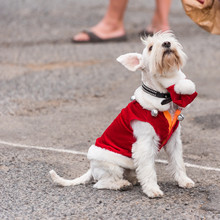 A Dog In A Suit At An Exhibition Of Retro Cars , Agde, France. Copy Space For Text.