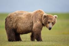 Portrait Of Brown Bear Standing On Grassy Landscape
